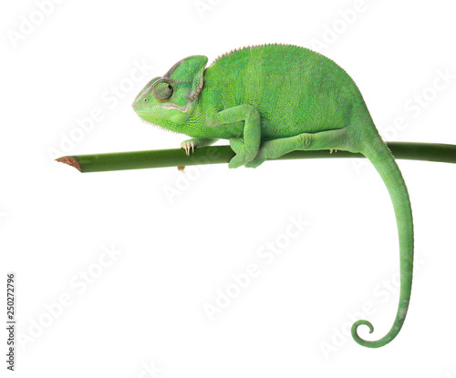 Cute green chameleon on branch against white background #250272796