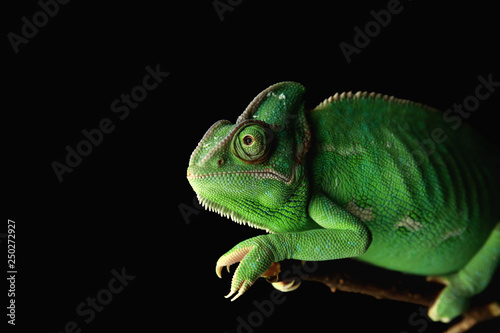 Tuinposter Kameleon Cute green chameleon on branch against dark background
