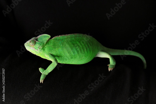 Cute green chameleon on dark background #250272937