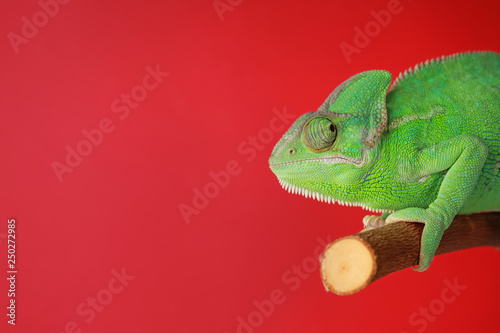 Photo Cute green chameleon on branch against color background