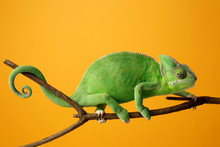 Cute Green Chameleon On Branch...