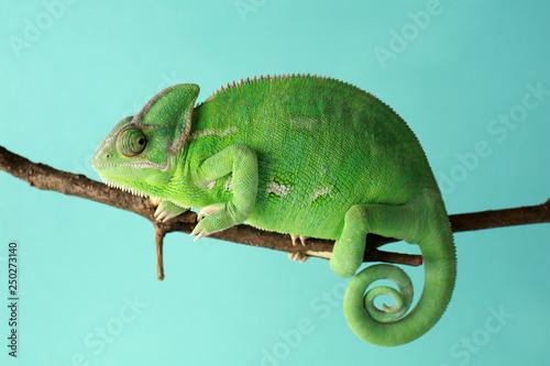 Foto op Plexiglas Kameleon Cute green chameleon on branch against color background