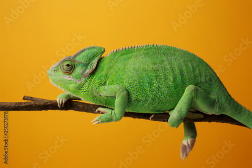 Cadres-photo bureau Cameleon Cute green chameleon on branch against color background