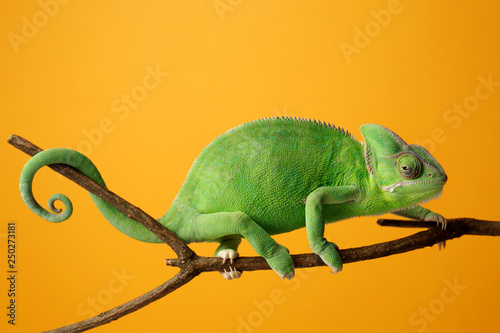 Poster de jardin Cameleon Cute green chameleon on branch against color background