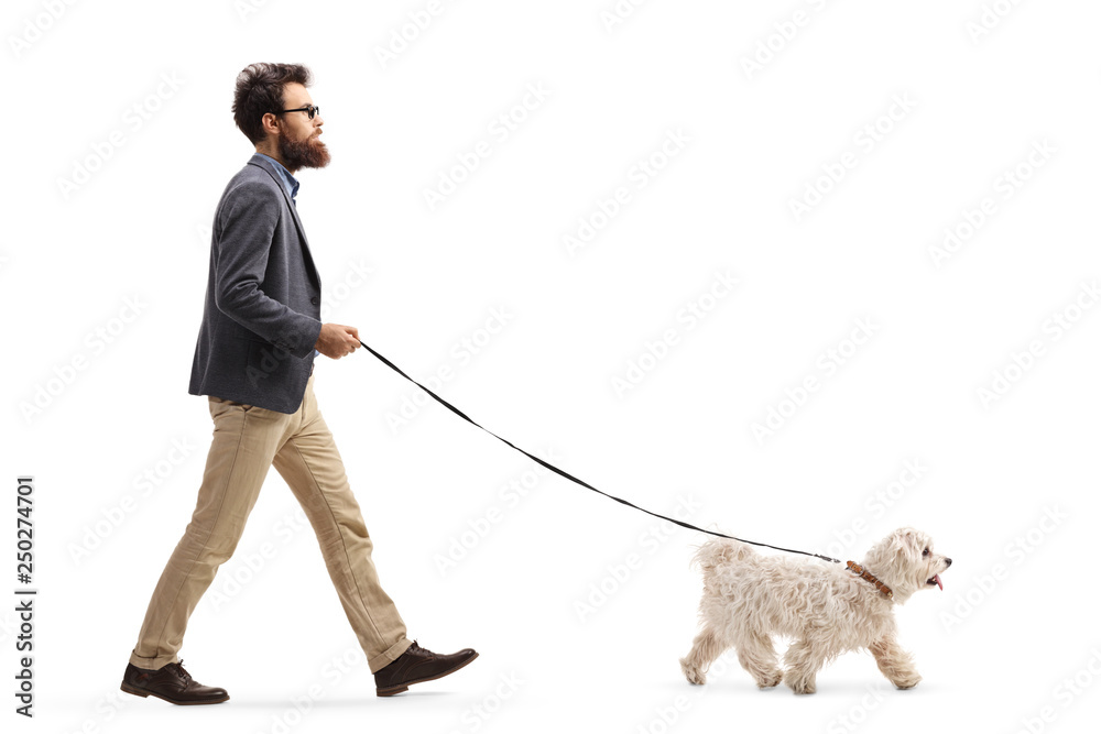 Fototapeta Bearded man walking a maltese poodle dog