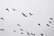 Birds soar. Lots of birds in the air. Migratory birds. Migration of animals.