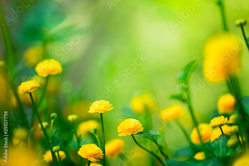 Obraz Yellow spring flowers on green background  - fototapety do salonu