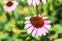 Cone Flower With Bumblebee