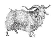 Angora Goat (Capra Angorensis)...