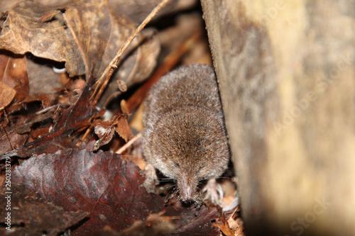 Fototapeta A shrew under the edge of a fallen log