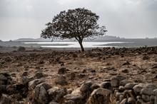 Golan Tree Single Tree