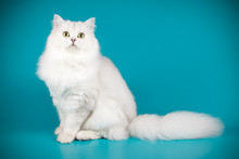 Scottish Straight Longhair Cat On Colored Backgrounds