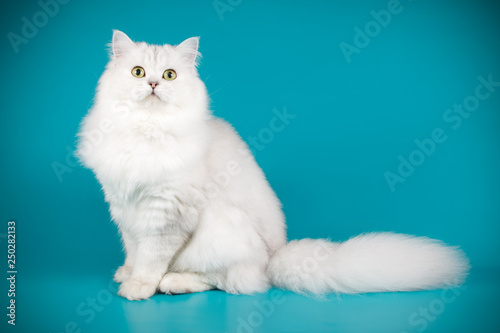Fotografiet  Scottish straight longhair cat on colored backgrounds