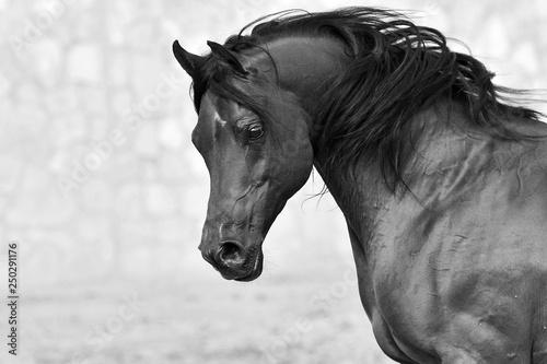 Fototapeta Portrait of a bay arabian stallion with black mane beside a stone wall on the background. Horizontal, side view, black and white. obraz