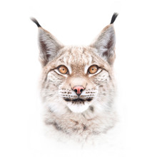 European Lynx Face Isolated On...