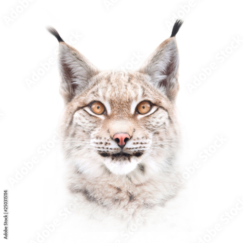 European lynx face isolated on white background