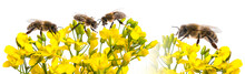 Rapeseed Flowers And Bee Close Up Isolated On White Background