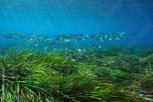 Foto auf Leinwand Südeuropa Seagrass Posidonia oceanica with a school of fish underwater in the Mediterranean sea, Cabo de Gata Nijar, Almeria, Andalusia, Spain
