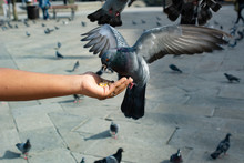 Pigeons Eating From Human Hand