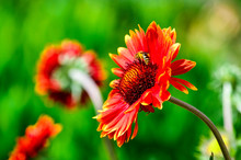 Red Gerberas Grow In The Field, Meadow. Gerbera Jamesonii / Gerbera Daisy / Robert Jameson. Green Ellow Blurred Background