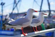 A Wild Australian Seagull Bird With Red Beak And Feet In The Sydney Harbour