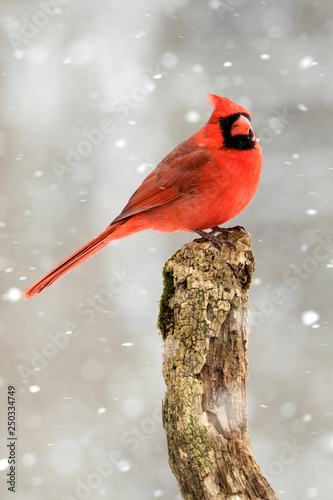 Photo  Beautiful photo of a male Northern Cardinal (Cardinalis cardinalis) standing on a perch during a gentle snow