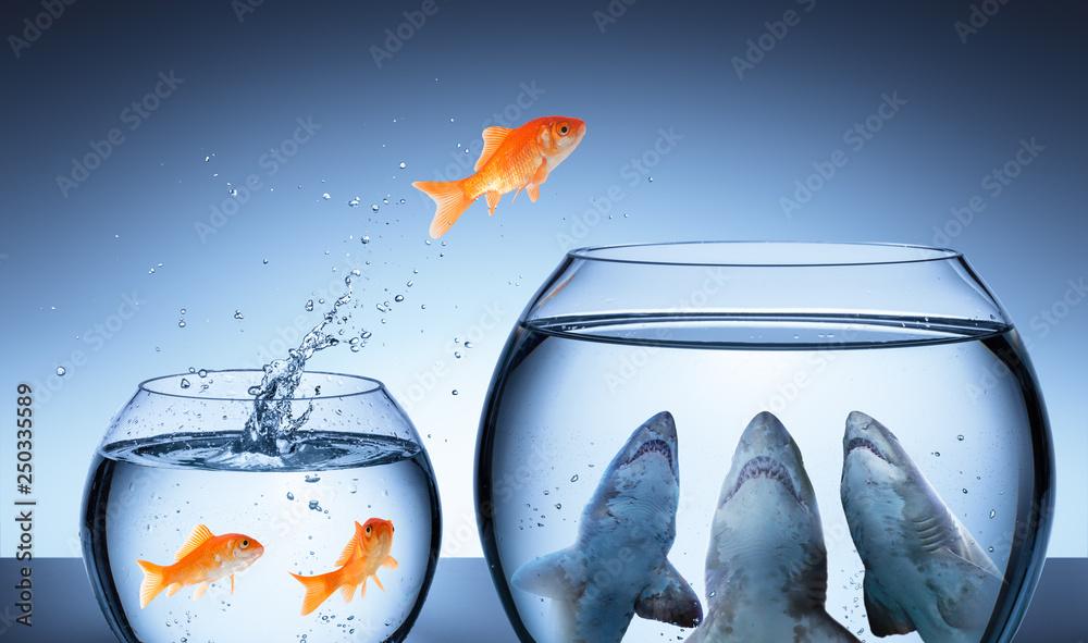 Fototapeta Shark Trap - Business Risk Concept - Goldfish Jumping In Shark Tank