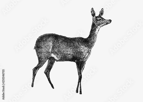 Canvas Print Fawn deer from Africa