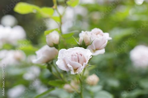 Fotografie, Obraz  バラの花