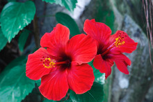 Two Cayenne Hibiscus Or Rose China Flowers, Beautiful Tropical Garden Flower