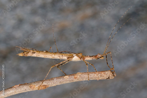 Photo  Image of a siam giant stick insect and stick insect baby on dry branches
