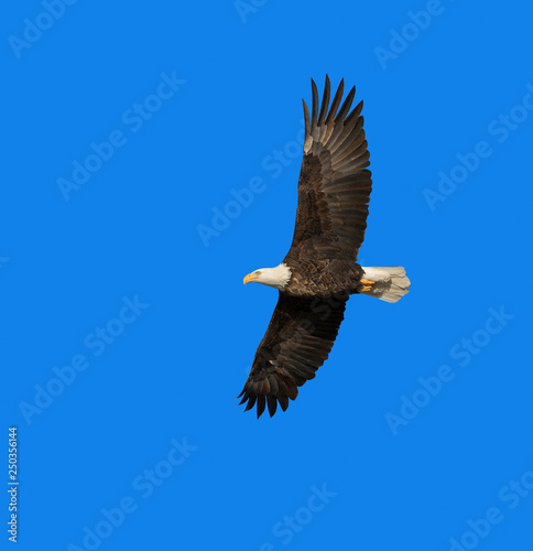 Poster Aigle Bald eagle in flight (clipping path included) in blue sky over Des Moines River