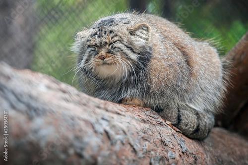 Photo  Pallas's cat (Otocolobus manul)