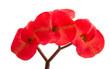 Leinwandbild Motiv Euphorbia Flower Mile Isolated