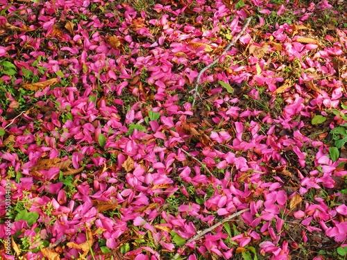 Poster Rose fallen petals of Camellia Japonica