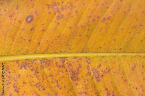 Fotografiet  Close detail of yellow tree leaf with granular surface structure and brown areas caused probably by rotting that has already started