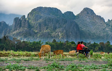 Stunning View Of Some Cows Grazing On A Field With Two Undefined Tourists On A Motorbike Direct To Some Limestone Mountains. Vang Vieng, Laos.