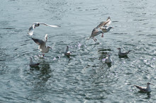 Group Of Seagulls In The Water