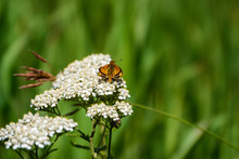 Delaware Skipper On Yarrow Flowers In Summer