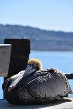 Pelican Resting On The Dock