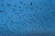 Blurry Background Flock Of Birds Black Silhouettes Flying In Dark Blue Sky At Night