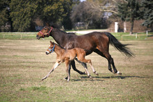 Mare With  Few Weeks Old Foal ...