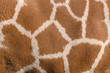 canvas print picture - giraffenfell