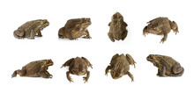Group Of Toad(Bufonidae) Isola...