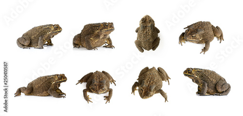Photo sur Aluminium Grenouille Group of toad(Bufonidae) isolated on a white background. Amphibian. Animal.