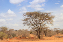 Dry Acacia Tree In The African...