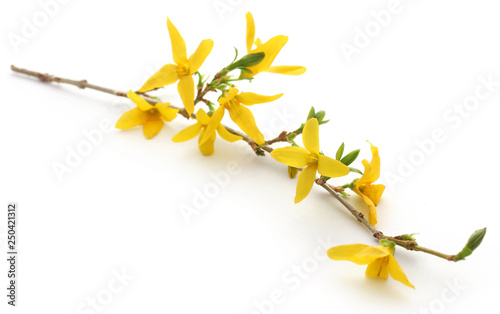 Photo Bunch of fresh forsythia
