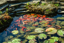 Japan Koifish Carp In Koi Pond