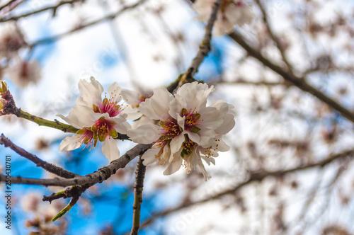 Photo  closeup of almond blossoms