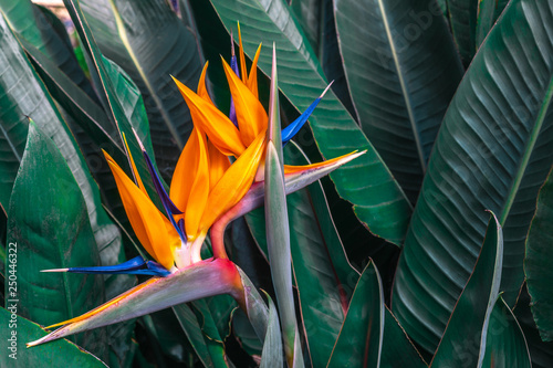 Garden Poster Bird-of-paradise flower Beautiful Bird of Paradise flower (Strelitzia reginae) with green leaves background in tropical garden
